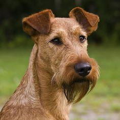 Der Irish Terrier verhält sich seinem Halter gegenüber absolut loyal.