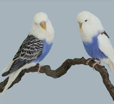 Exotic Budgies from gilded by canipaintthisplease Budgie Parakeet, Parrot Bird, Parakeets, Cockatiel, Cute Birds, Pretty Birds, Beautiful Birds, Animals Beautiful, Nature