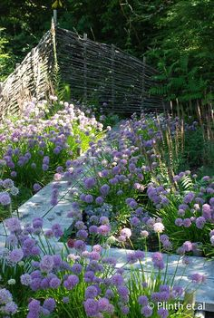 facetnation:  Free Spirit Nursery and Garden  Alliums (Alllium senescens and A.'Summer Beauty') , spill along the zig-zag bridge, a feature…  View Post