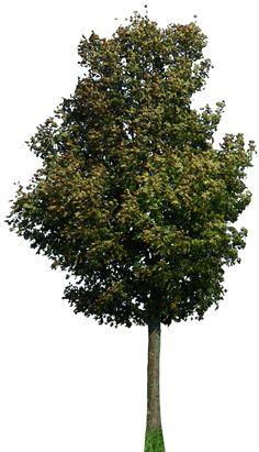 tree 42 png by gd08.deviantart.com on @deviantART