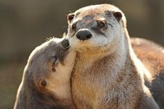 Otter Kiss  Otters are so cute!