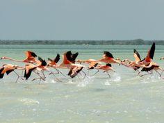 #Flamants rouges à #Punta Allen au #Mexique