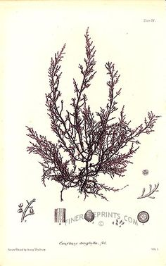 Antique seaweed print: picture of Chondria dasyphylla - Atlantic shores of Europe and North America