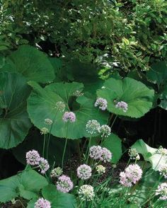 Big-leaved Perennials | Fine Gardening