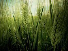 Veamos hoy con detenimiento lo que es la enfermedad celiaca y cómo afecta el gluten. http://www.cometelasopa.com/la-enfermedad-celiaca-y-el-gluten/