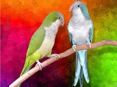 green and blue quaker parrots