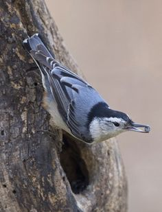 (¯`•.•´¯)¸•´¯`☆  .`•.¸¸.•´♥White-breasted Nuthatch  from Great Backyard Bird Count by Gary Mueller