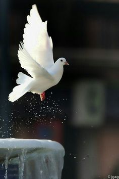 any of certain birds of the pigeon family. The names pigeon and dove are often used interchangeably. Pretty Birds, Love Birds, Beautiful Birds, Animals Beautiful, Beautiful Pictures, Cute Animals, White Doves, Tier Fotos, Mundo Animal