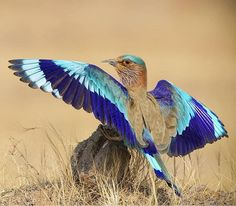 Colorful Feathers, Colorful Birds, Pretty Birds, Beautiful Birds, Indian Roller, Lilac Breasted Roller, Rare Birds, Cute Little Animals, Small Birds