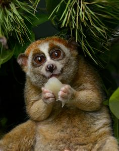 """PYGMY SLOW LORIS....found in tropical rainforest, scrub forests, semi-deciduous forest, swamps, suburban gardens in India, southeast Asian and Sri Lanka.....a body length of 7 – 15 inches including tail and a weight of 9 ounces to 4.6 pounds....can hang from the branch (attached by its feet) for hours.....the only known """"poisonous"""" primate"""
