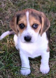 Libby - Beagle