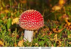 Stock Photo: Fly Amanita mushroom in autumn light in the forest in fall. -