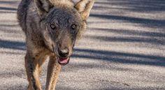 Addio Claudio! Hanno ammazzato il lupo appenninico ambasciatore della sua specie