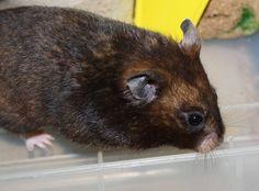 Hamster Mischief's Harper Lee -  Yellow black SH