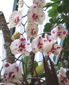 Paleonopsis-Orchidee