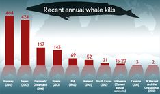 Fact check: how does Japan compare with other whaling nations? Infographic: The number of whales killed around the world in 2012 or 2011. Figures sourced from the International Whaling Commission and Indonesian Ministry of Tourism. (ABC Fact Check )