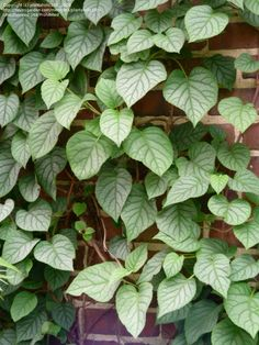 Full size picture of Japanese Climbing Hydrangea 'Moonlight' (Schizophragma hydrangeoides)