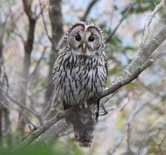 Strix uralensis/Ural owl/フクロウ