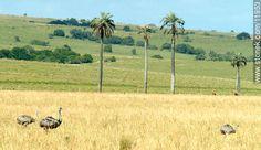 Ñandúes - Fotos de los Palmares - Departamento de Rocha - URUGUAY. Imagen #11953