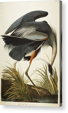Thrill your walls now with a stunning John James Audubon print from the famous Birds of America Collection. Choose from various John James Audubon artworks printed on our high quality paper and on canvas. Artist Canvas, Canvas Artwork, Canvas Wall Art, Canvas Prints, Bird Artwork, Audubon Birds, Audubon Prints, Painting Prints, Art Prints