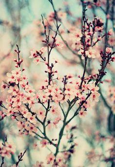 Flores de cerezo. Aquí también hay de éstas y se ven hermosas!