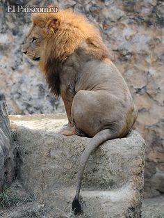 León del Zoológico de Cali protagonizó sesión fotográfica para portada de revista, al final dio la espalda. Imponente!! Spanish Pronunciation, Dio, Spaces, Animals, Colombia, Earth, Cover Pages, News, Animales