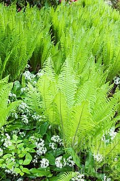 MATTEUCCIA STRUTHIOPTERIS, OSTRICH PLUME FERN.  These were alongside the porch of my Grandma's Queen Anne house.