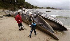 Vecinos observan la ballena de 20 metros que ha varado muerta en la playa de Seixal, en Tal, en la costa de Muros (A Coruña). El animal fue avistado ayer flotando en la zona de Monte Louro y el temporal lo ha arrastrado hacia la playa donde numerosos curiosos se han acercado a verlo, a la espera de que las autoridades decidan la forma de retirarlo.