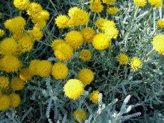 15 sziklakerti növény, mellyel beültetheted a sziklakertet! Rock Garden Plants, Herb Garden, Herb Plants, Plant Order, Plant Information, Herbs Indoors, Button Flowers, Growing Herbs, Plant Care