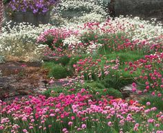 Low water garden  |  A meadow look has been created with drifts of different shades of Armeria maritima. Cerastium tomentosum is the white flowered groundcover in the background.