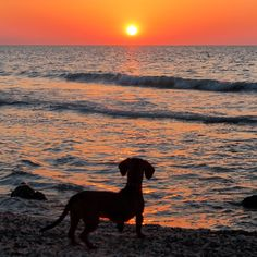 FACEBOOK: Mi perro Salchicha me AMA https://www.facebook.com/pages/Mi-perro-Salchicha-me-AMA/425990280846978?ref=hl