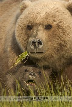 Grizzly bear cub takes shelter under his mother's protection, Lake Clark National Park, Alaska