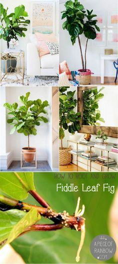 In Love With Fiddle Leaf Fig, and How to Grow It From Cuttings