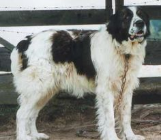 Bukovina Sheepdog.....beautiful!