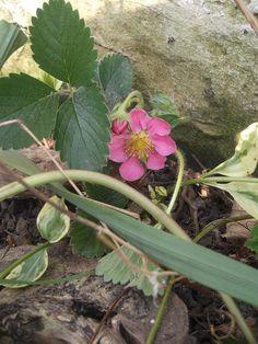 wild strawberries on their way sweet
