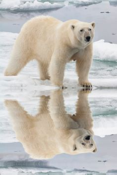 Female Polar Bear And Reflection