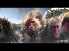 Snow Monkeys in Japan 5K Retina 60p Ultra HD(Test)