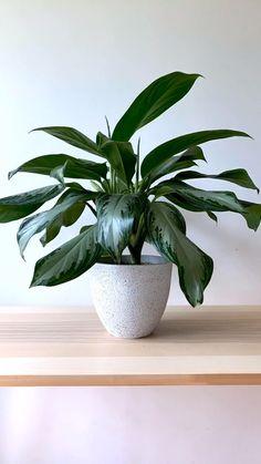 Fake Plants Decor, House Plants Decor, Faux Plants, Plant Decor, Indoor Garden, Indoor Plants, Cast Iron Plant, Household Plants, Rubber Plant