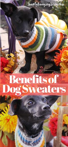 Sweaters on dogs act in the same way that they do on you. They trap body heat in and aid you in keeping warm.  #ad #dogs #ilovedogs #dogsweaters #doglovers #justfordogs #dogsinwinter #simplyamazingliving #keeppetswarm