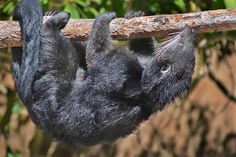 A #binturong hangs out at the Zoo. Some say this nocturnal creature smells like popcorn. Mmmmm... popcorn.