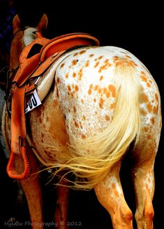 Golden Palomino Appaloosa :: GORGEOUS !!
