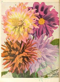 seeds_catalogs-00047 - 047-dahlias