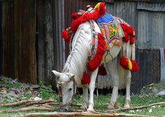 This pretty Ethiopian horse is all dressed up for a parade or festival. The red pom-poms are a common feature of fancy Ethiopian adornment, as is the blue saddle cloth featuring a golden lion. The saddle cloth hangs over top of the saddle (there are slots front and back for the pommel and cantle to stick through) and is just decorative (although perhaps keeps the rider's leg from rubbing on the stirrup leathers - but it's not padded).