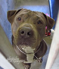 A4806216 My name is Chevy. I am a friendly 1 yr old male blue/white pit bull mix. My owner left me here on March 7. available now. NOTE: Bully breeds are not kept as long as others so these dogs are always urgent!! Baldwin Park shelter https://www.facebook.com/photo.php?fbid=938346642843840&set=pb.100000055391837.-2207520000.1426428044.&type=3&theater
