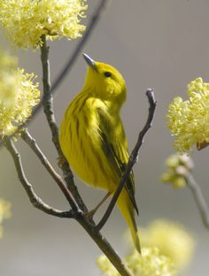 Spring Time yellow bird and blossoms Pretty Birds, Love Birds, Beautiful Birds, Animals Beautiful, Cute Animals, Golden Yellow Color, Shades Of Yellow, Mellow Yellow, Tier Fotos