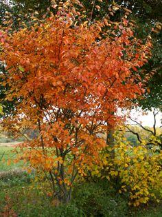 fall Serviceberry Tree