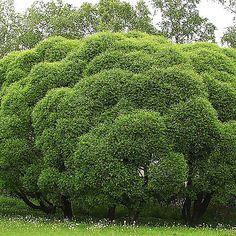 Terijoensalava pensas | Koristepensaat | Agrimarket