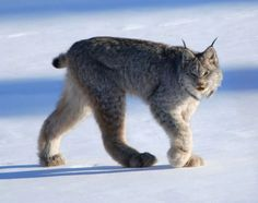 The Canada lynx or Canadian lynx is a North American mammal of the cat family Felidae. It is a close relative of the Eurasian Lynx. However in some characteristics the Canada lynx is more like the bobcat than the Eurasian Lynx. Arctic Animals, Animals And Pets, Cute Animals, Arctic Hare, Wild Animals, Baby Animals, I Love Cats, Big Cats, Cats And Kittens