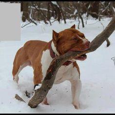 Any other dog brings back a stick, a pit bull brings back a tree limb.  lol  I love it!!