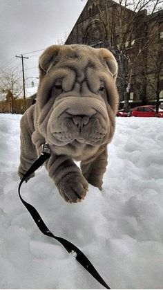 The Shar Pei, or Chinese Shar-Pei, is a breed of dog known for its distinctive features of deep wrinkles and a blue-black tongue. The breed comes from China.Its small, triangle ears, and a high-set tail also give the Shar Pei a unique look.The Shar Pei is often suspicious of strangers, which pertains to their origin as a guard dog. It is a very independent and reserved breed. Nevertheless, the Shar Pei is extremely devoted, loyal and affectionate.